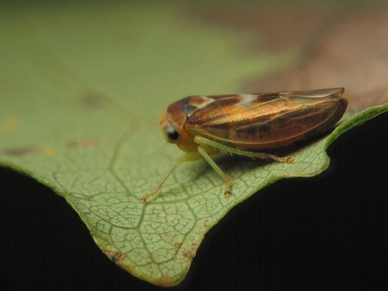 Populicerus-populi-4616.jpg