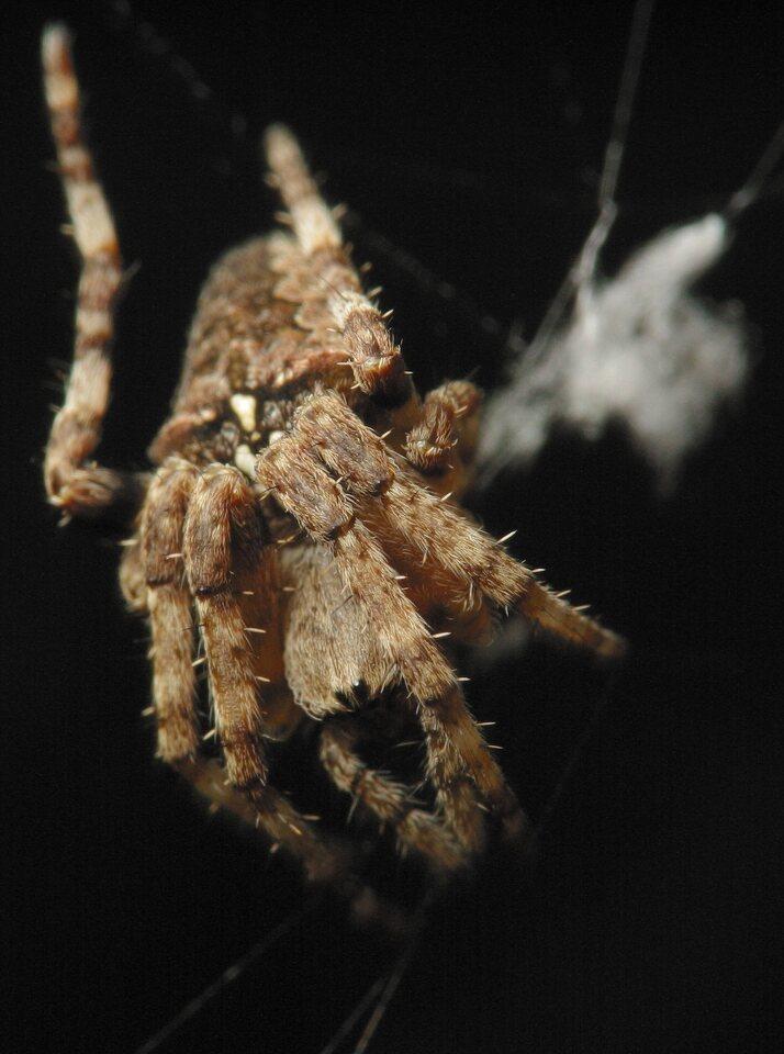 Araneus-angulatus-4618.jpg