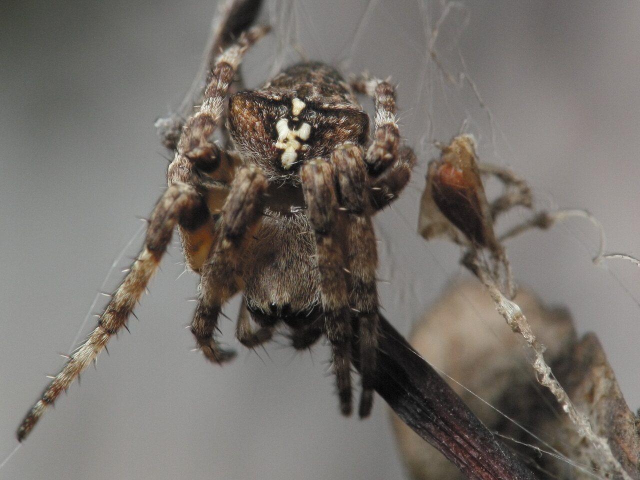 Araneus-angulatus-4623.jpg