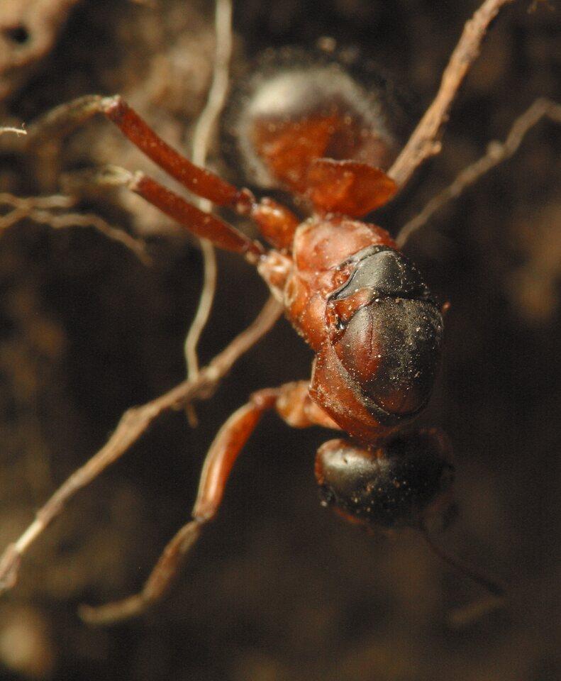 Formicidae-4625.jpg