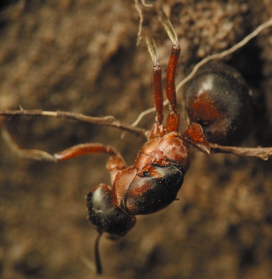 Formicidae-4627.jpg