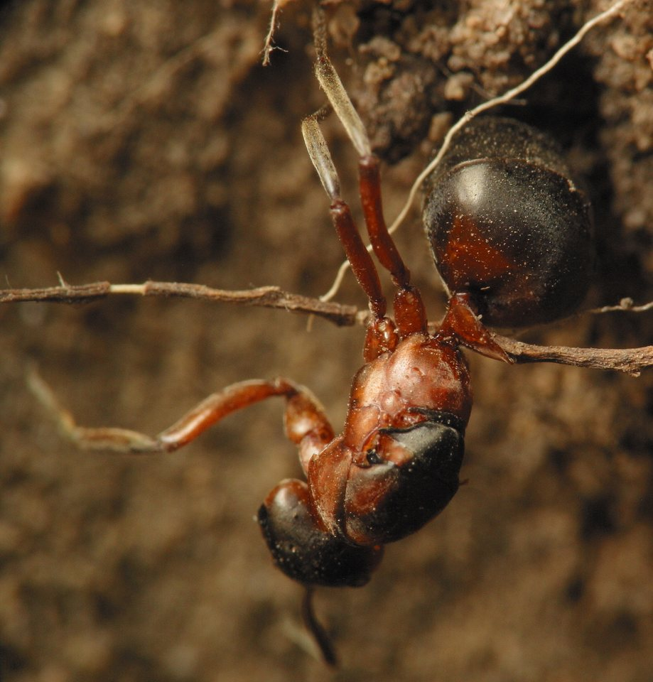 Formicidae-4628.jpg