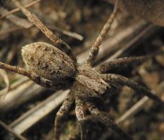 Arctosa sp. · pasalūnas