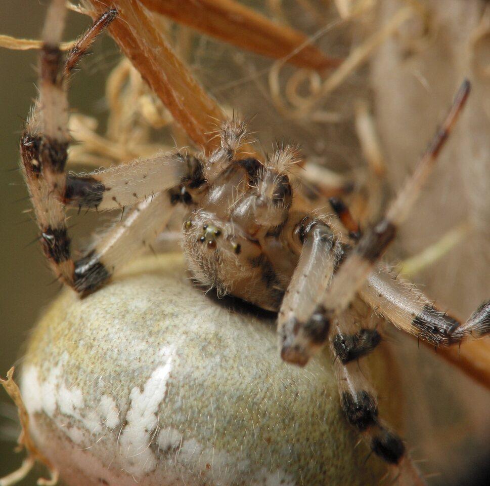 Araneus-quadratus-4653.jpg