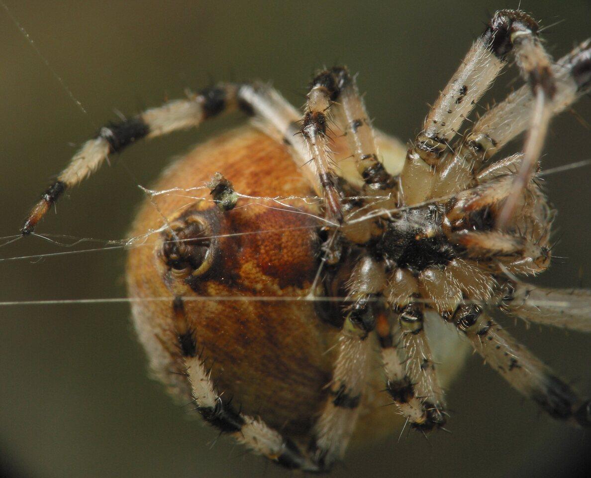 Araneus-quadratus-4683.jpg