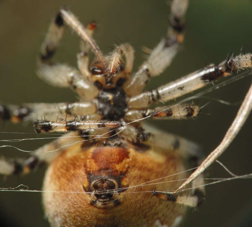 Araneus-quadratus-4685.jpg