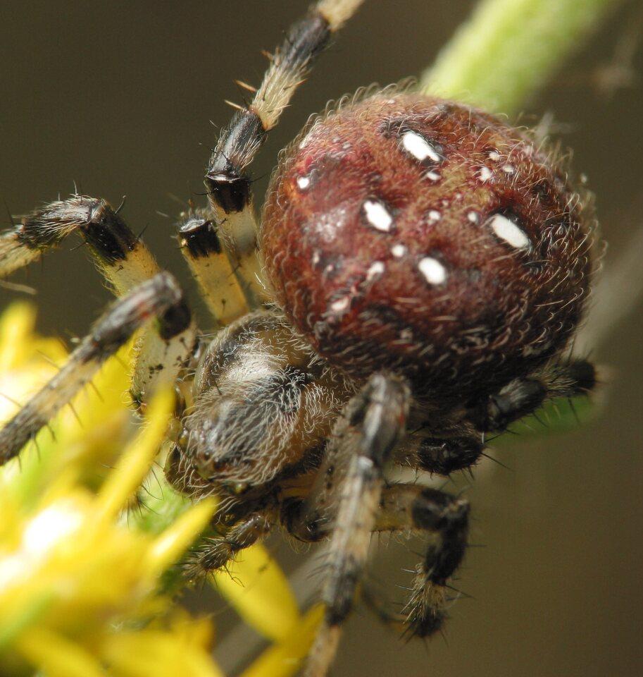 Araneus-quadratus-4691.jpg