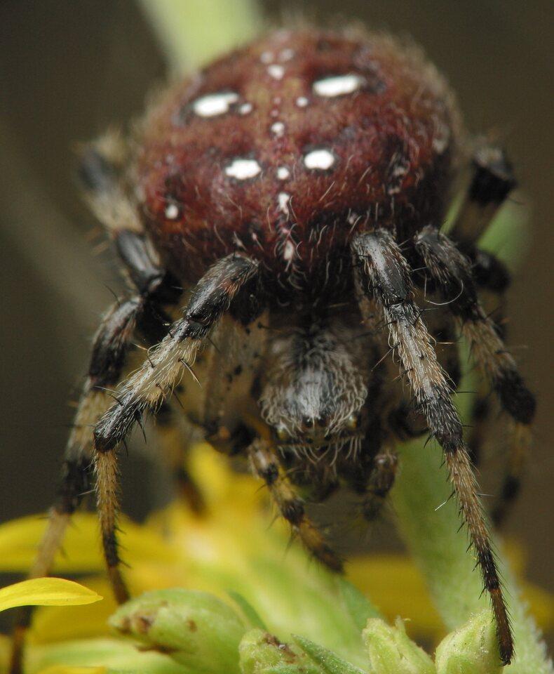Araneus-quadratus-4693.jpg