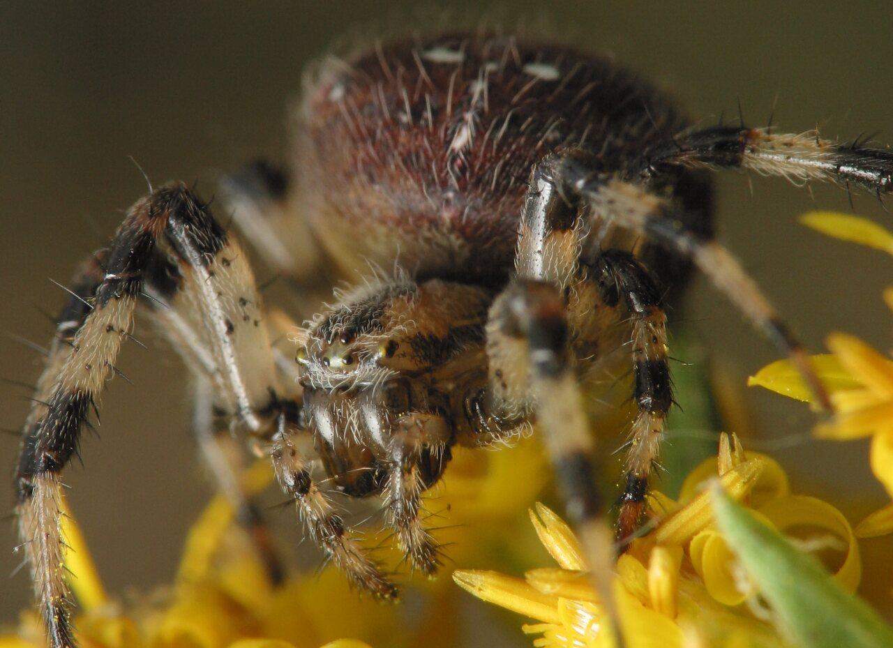 Araneus-quadratus-4698.jpg