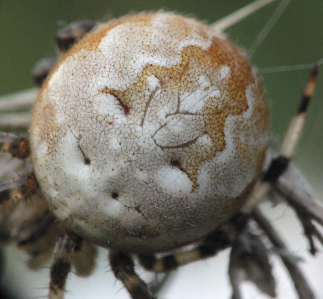 Araneus-quadratus-4707.jpg
