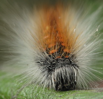 Acronicta auricoma caterpillar · pilkrudis strėlinukas, vikšras