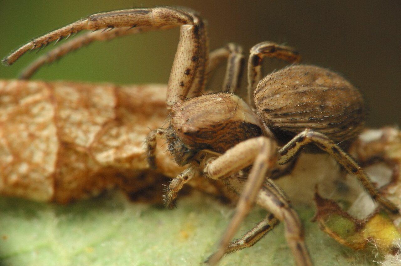 Thomisidae-4736.jpg
