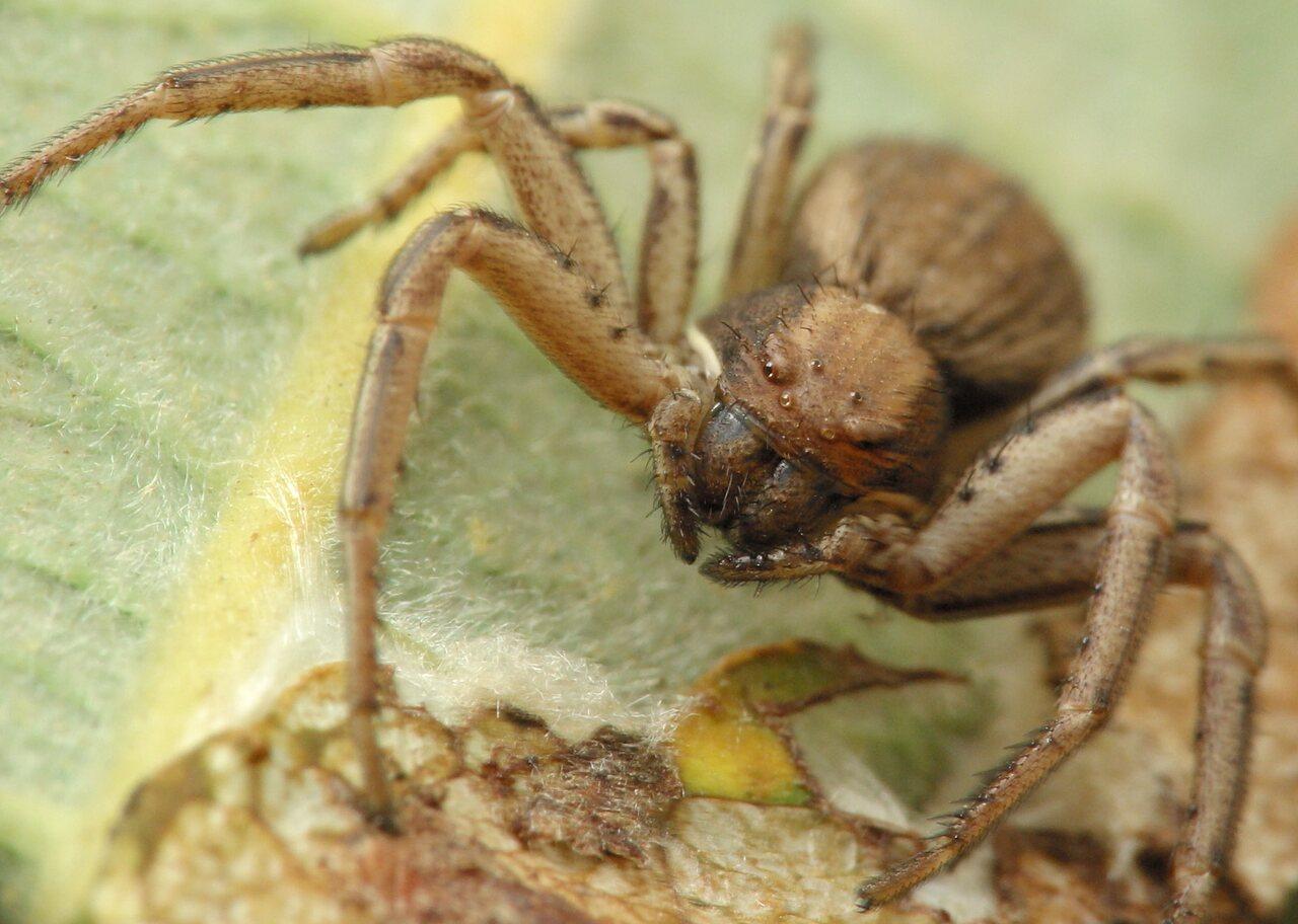 Thomisidae-4741.jpg