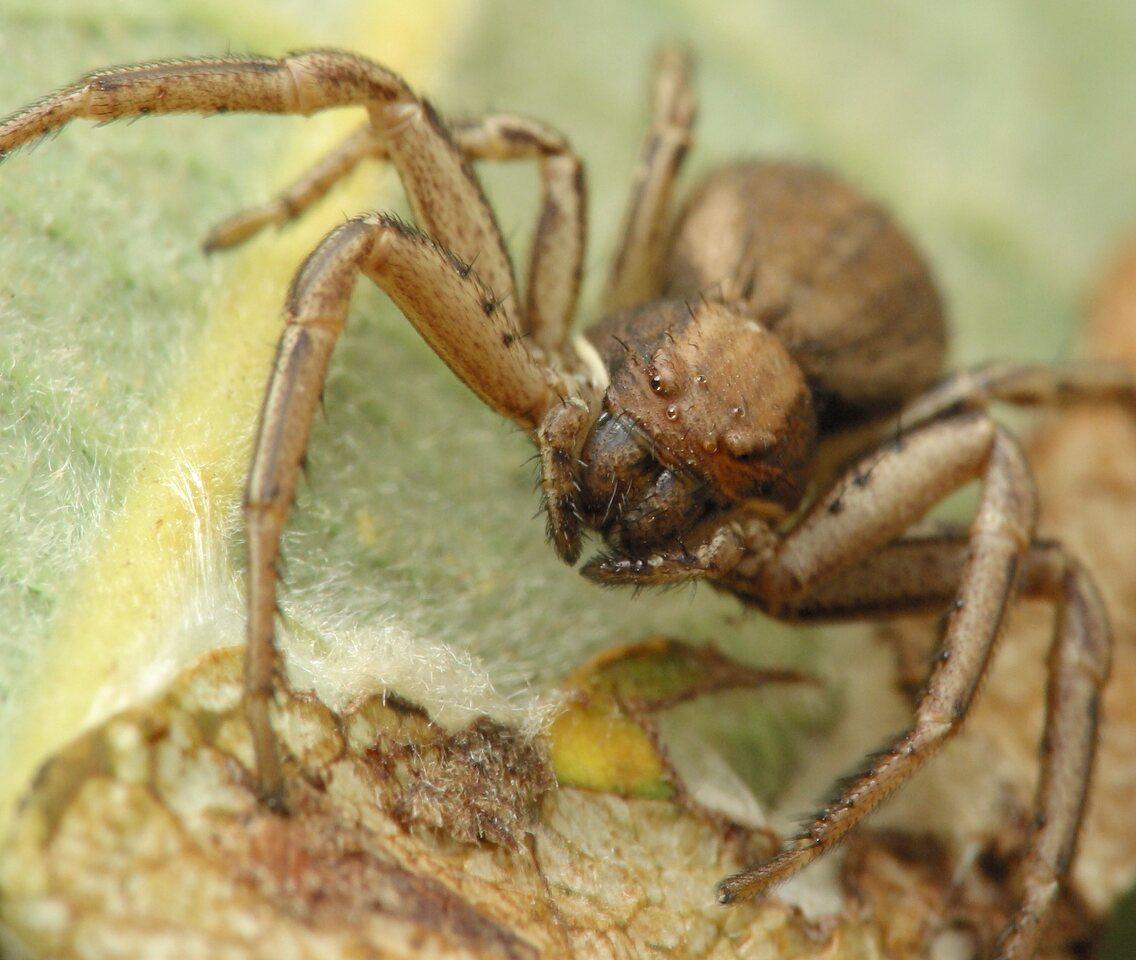 Thomisidae-4742.jpg