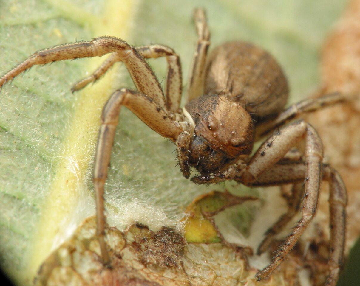 Thomisidae-4743.jpg