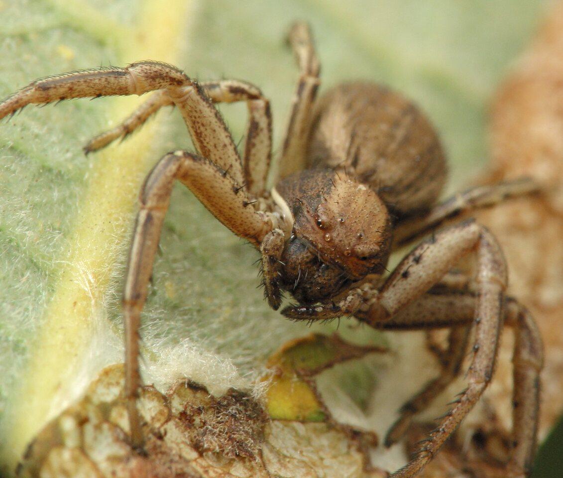 Thomisidae-4744.jpg