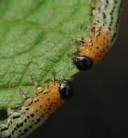 Nematus miliaris larva · pjūklelis, lerva