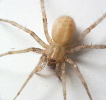 Tegenaria domestica · naminis kampavoris