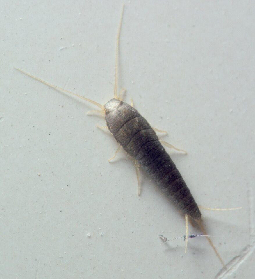 Lepisma-saccharina-5273C.jpg
