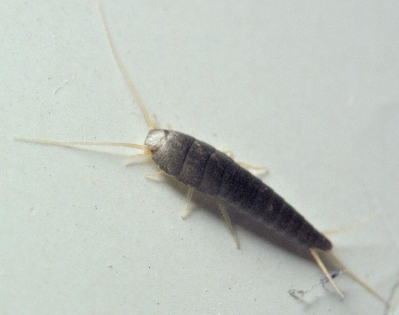 Lepisma-saccharina-5274C.jpg