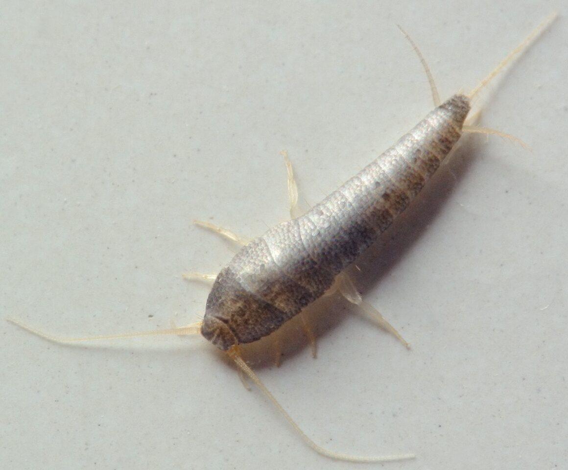 Lepisma-saccharina-5282C.jpg