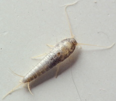 Lepisma saccharina · sidabrinė avižėlė