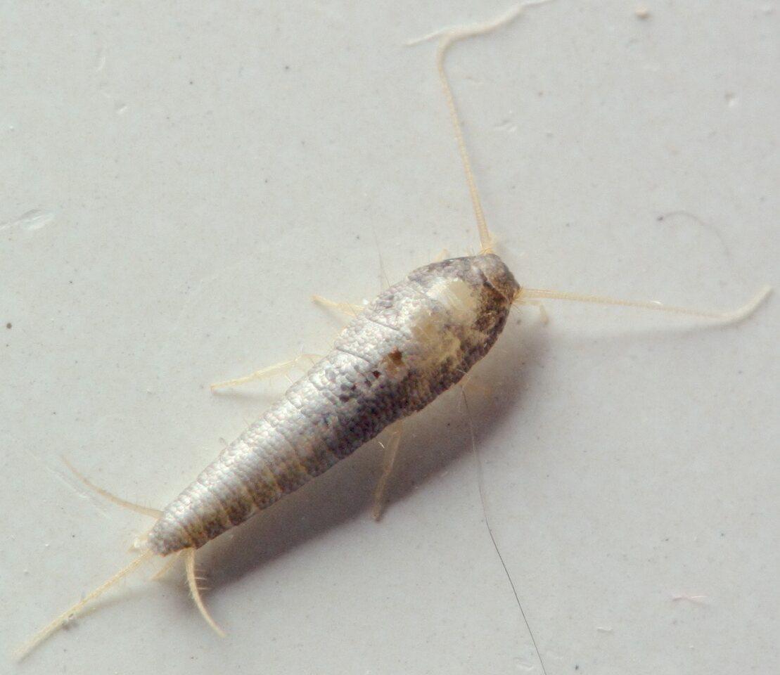 Lepisma-saccharina-5286C.jpg