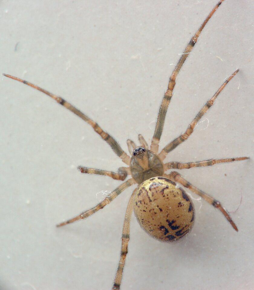 Steatoda-castanea-5413C.jpg