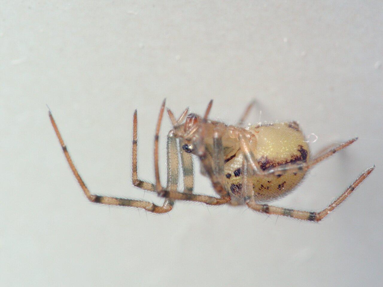 Steatoda-castanea-5416C.jpg