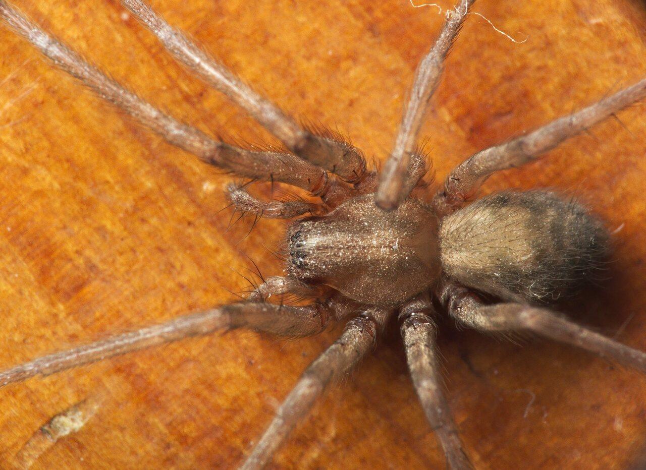 домовые пауки фото всю