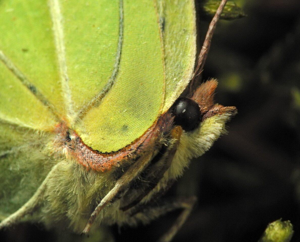 Gonepteryx-rhamni-5584.jpg