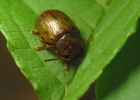 Gonioctena quinquepunctata · penkiataškis  dygblauzdis