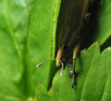 Lixus iridis · maudinis stiebastraublis
