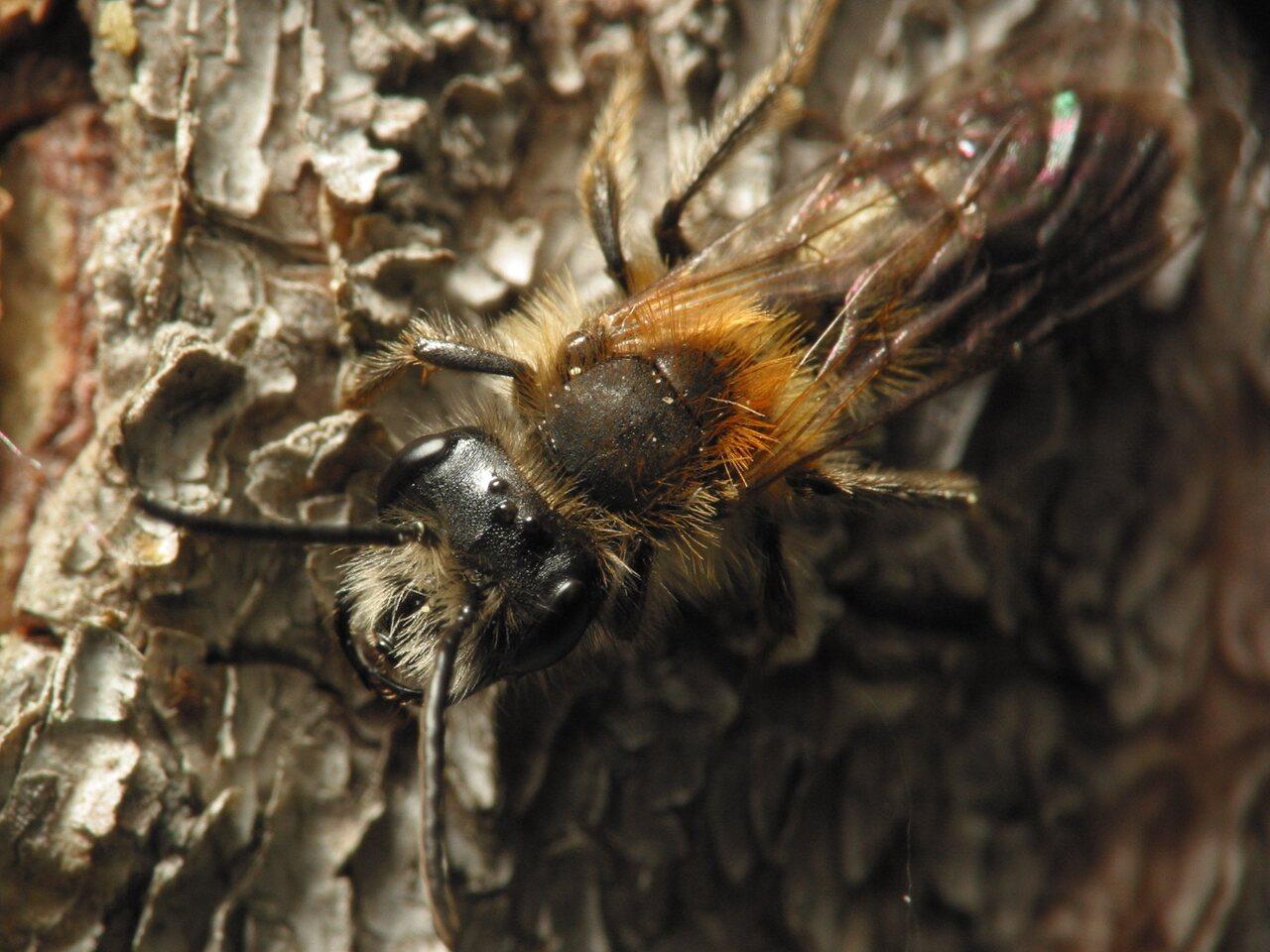 Apidae-5866.jpg