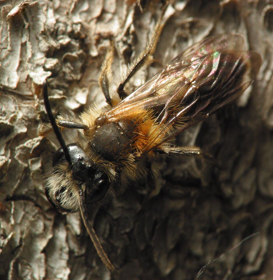 Apidae-5867.jpg