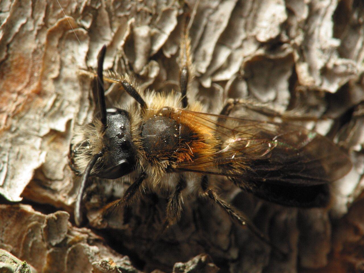 Apidae-5869.jpg