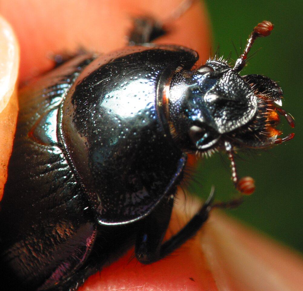 Anoplotrupes-stercorosus-5914.jpg