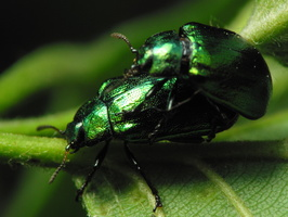 Plagiosterna aenea mating · žaliasis girinukas poruojasi