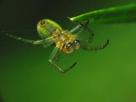 Araniella cucurbitina male · raudondėmis voriukas ♂