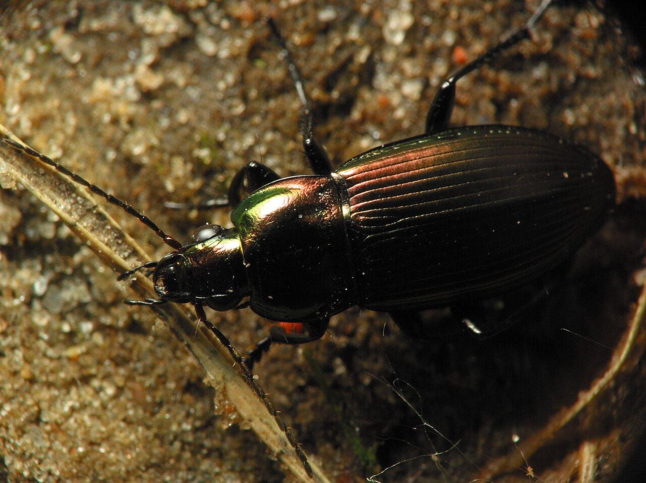 Carabidae-5981.jpg