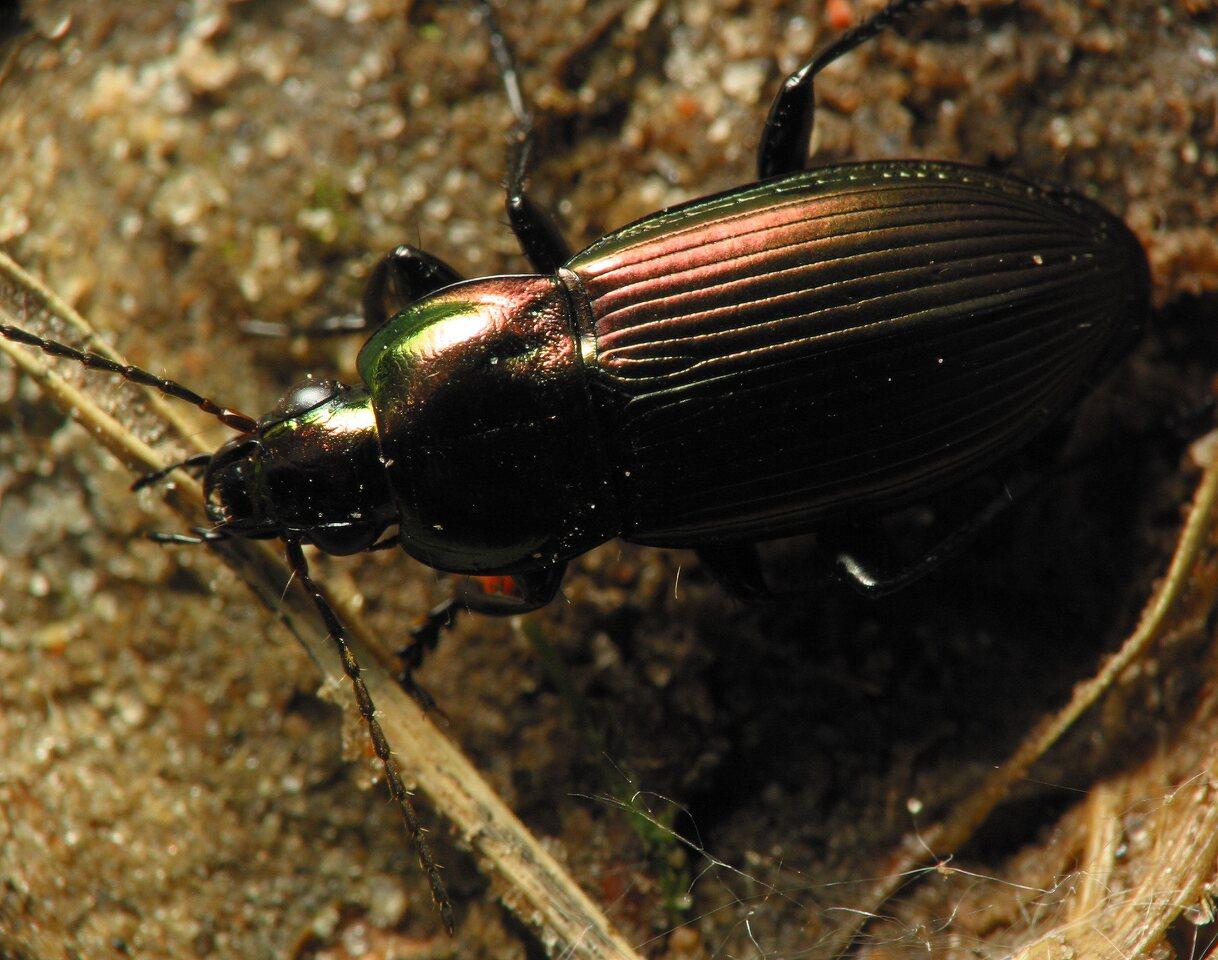 Carabidae-5982.jpg