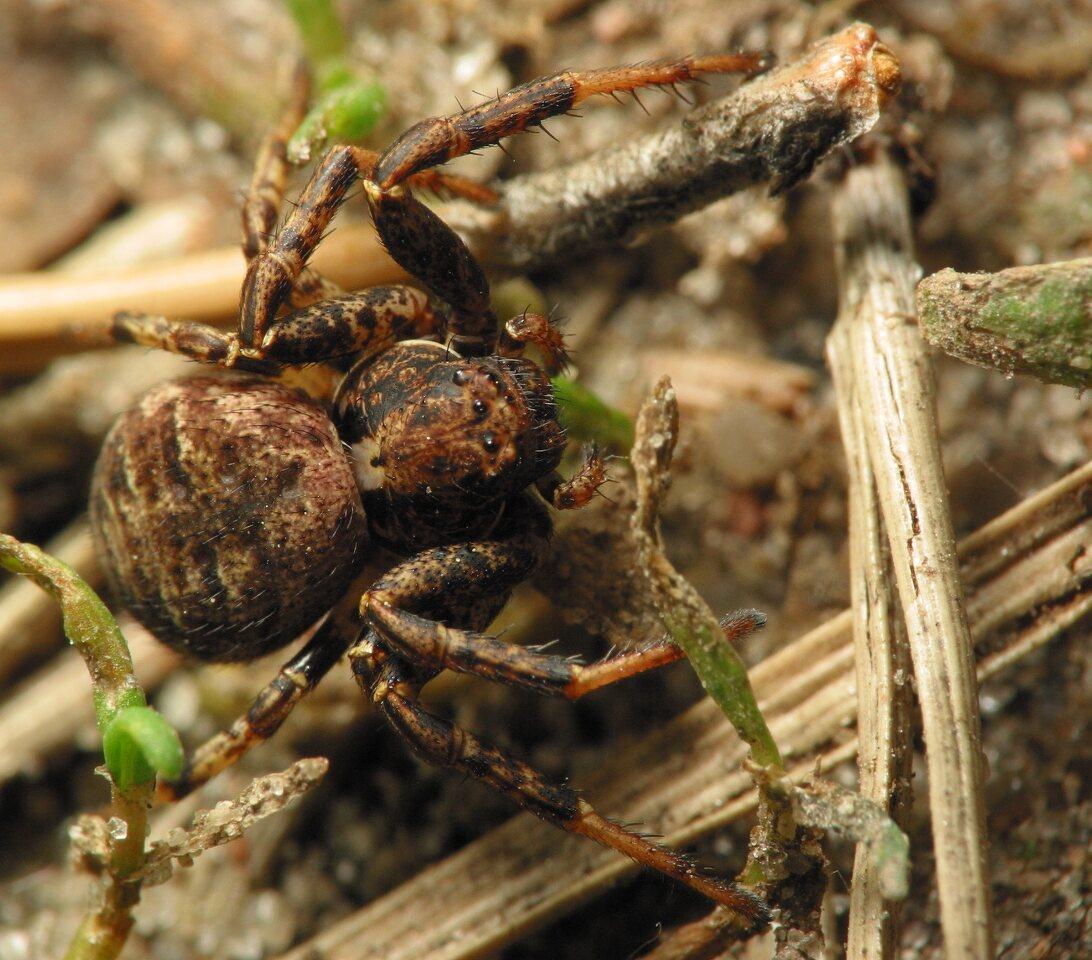 Thomisidae-5991.jpg