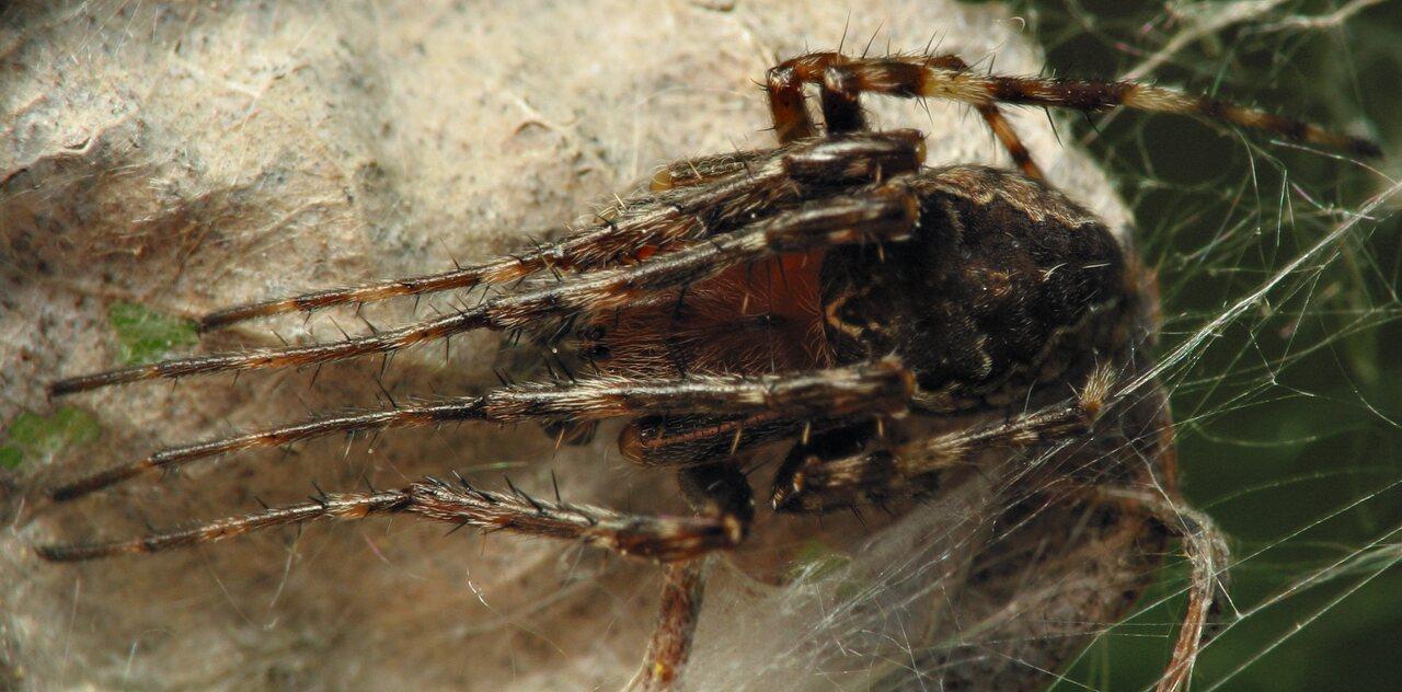 Larinioides-patagiatus-6004.jpg
