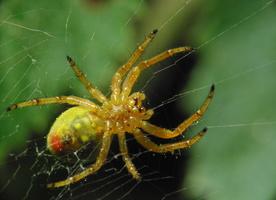 Araniella cucurbitina female · raudondėmis voriukas ♀