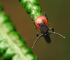 Ixodes ricinus female · miškinė erkė ♀
