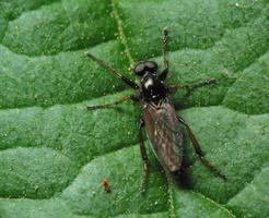 Bibionidae male · storakojis uodas ♂
