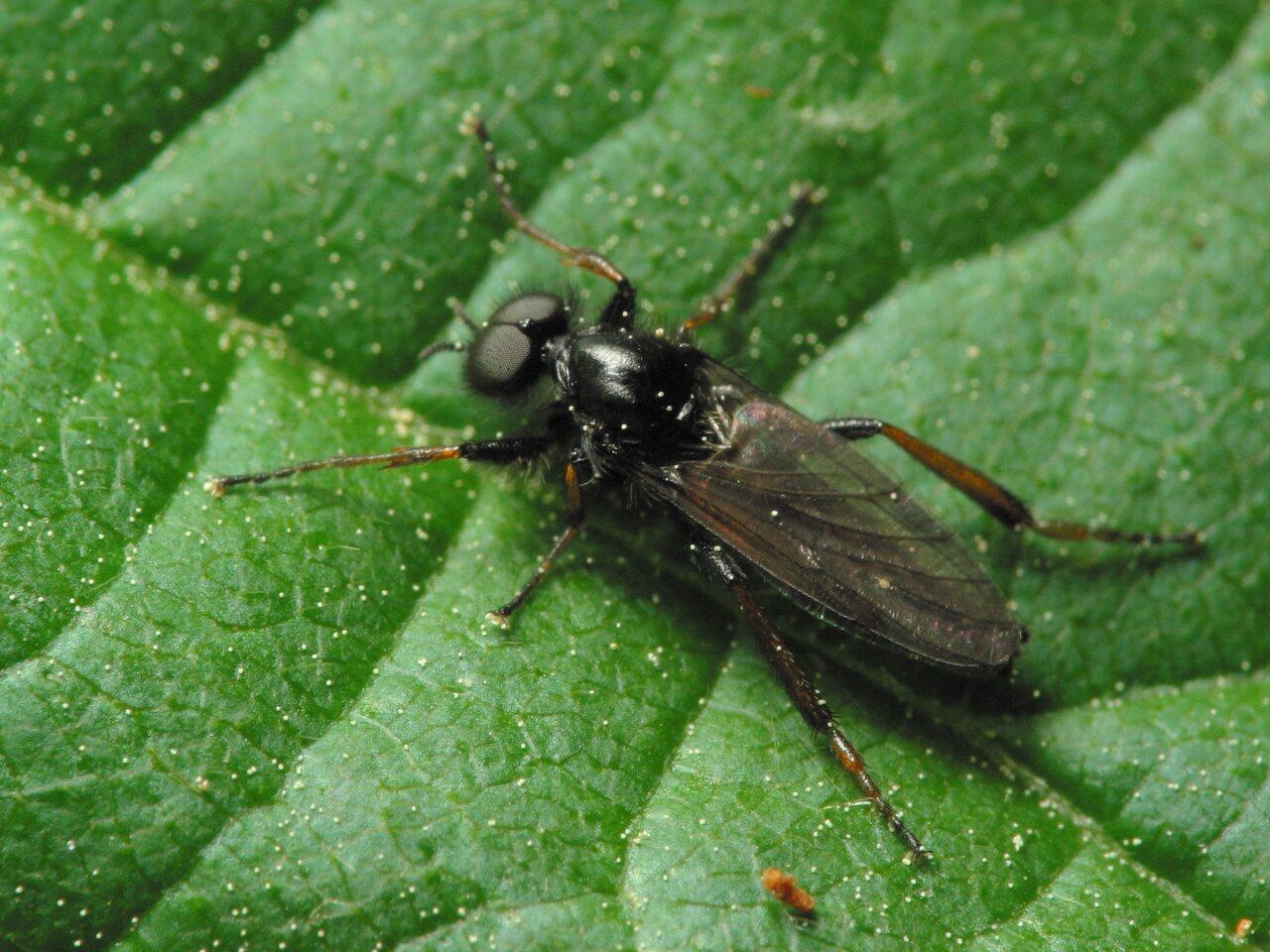 Bibionidae-6037.jpg