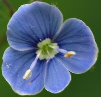 Plantaginaceae · gyslotiniai
