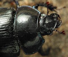 Anoplotrupes stercorosus · miškinis mėšlavabalis