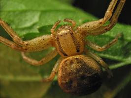 Thomisidae · krabvoris